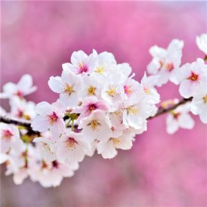 Cherry Tree Garden Zen Instrumental Music